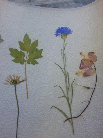 Blumen getrocknet und gerpresst